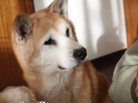 食べ物を見つめる老犬
