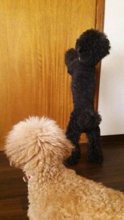 扉を開けたい犬