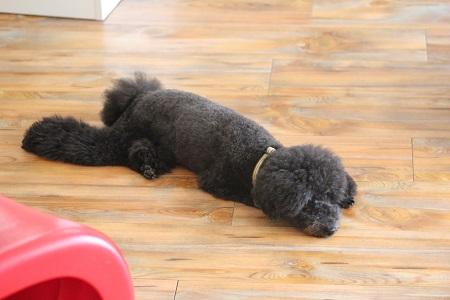 床で寝転がる犬