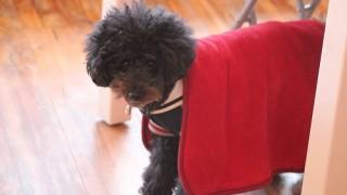 赤マントの犬
