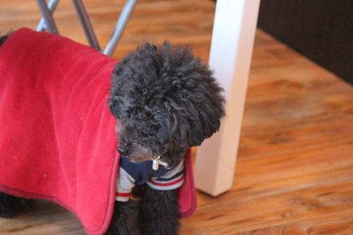 赤い布をかぶって動く犬