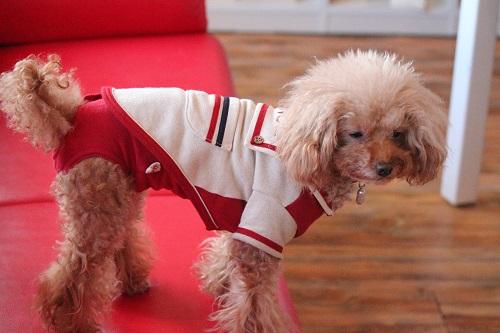 赤いマナーパンツの犬