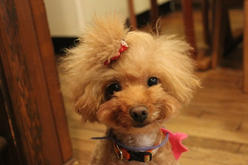 ミニアフロの犬