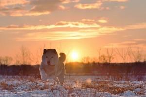 夕日を背に走る柴犬