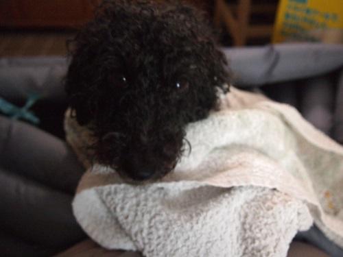 洗われて機嫌が悪い犬