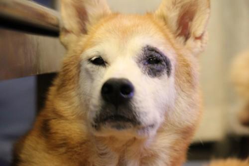 アレルギーに悩む犬