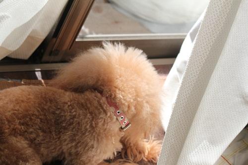 窓際が好きな犬