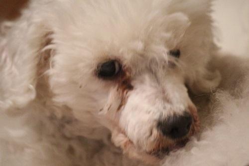 夜鳴きで表情がかわった老犬