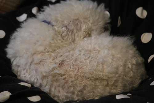 丸くなって眠る老犬