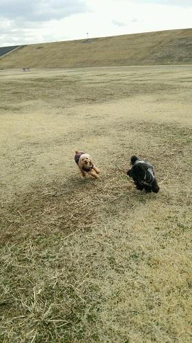 原っぱで走り回る犬