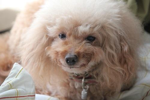 鬱陶しい表情をする犬
