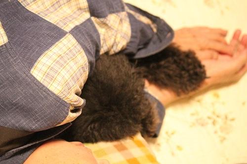 腕枕で眠るトイプードル