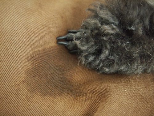 前足を噛みすぎてベタベタの犬