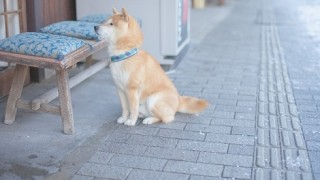 飼い主を待つ柴犬