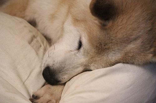 安心して眠る老犬