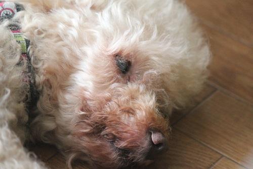 目を開けて眠る犬
