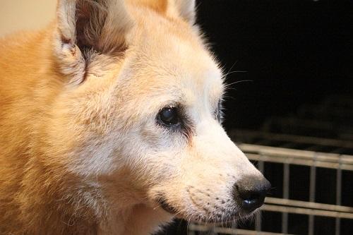 キリッとした横顔の老犬