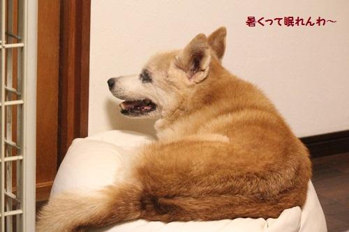 熱帯夜で目が覚める犬