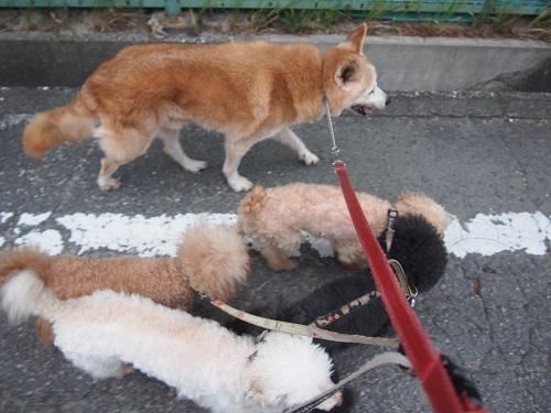 みんな一緒の散歩