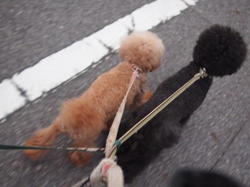グイグイ引っ張る犬達