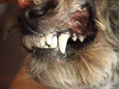 キレイな歯の犬