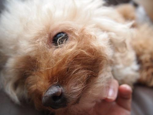 鼻の周りが濃くなってきた犬