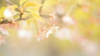 季節が過ぎた桜