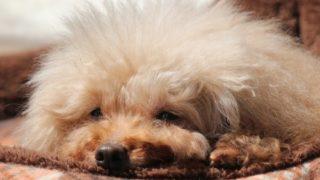 犬のお昼寝