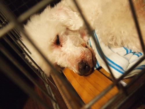 グッスリ眠る老犬