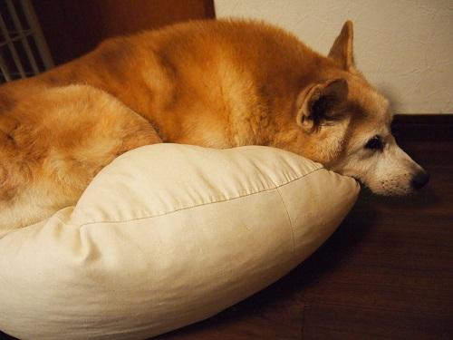 クッションで眠る老犬
