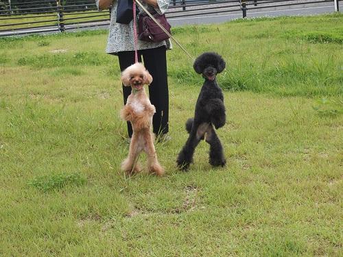 2足歩行で歩く犬
