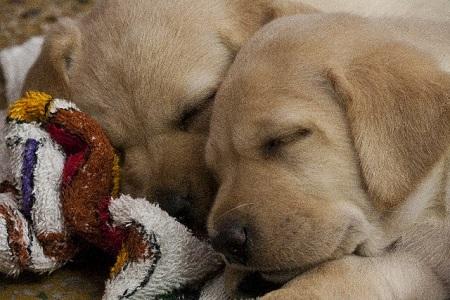 くっついて眠る子犬たち