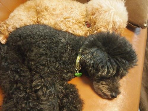 べったりくっついて寝る犬
