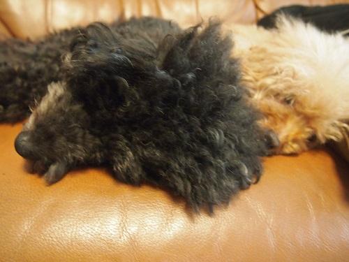 熟睡する2匹のトイプードル