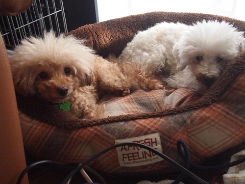 こちらを見つめる2匹の犬