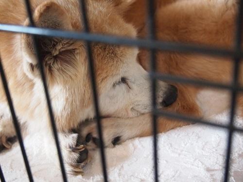 何事も無かったように寝る老犬