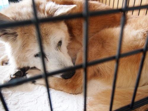 暴れ疲れて眠る老犬