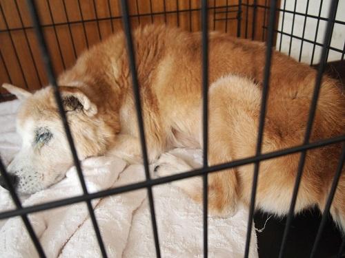 シーツを丸めて眠る老犬