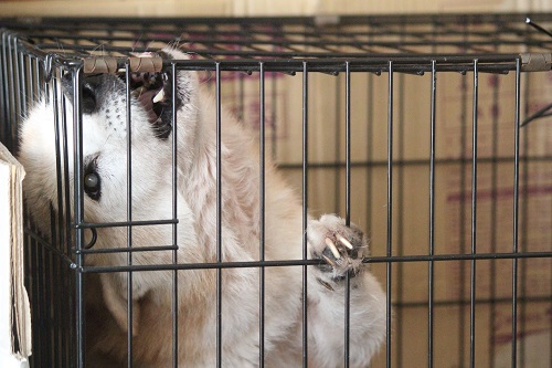 柵を噛みきろうとする老犬