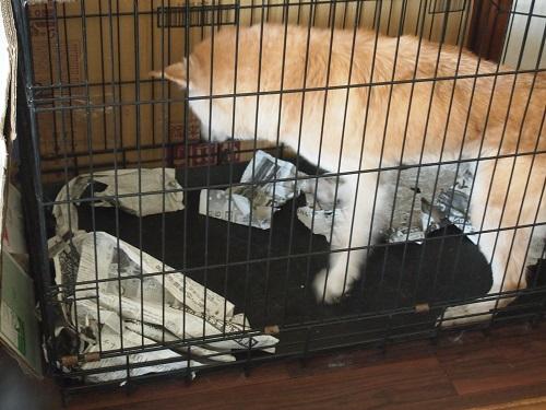 ケージの中で暴れる老犬