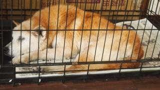 新聞紙の上で眠る老犬