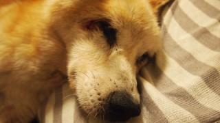 ビーズクッションで寝る老犬