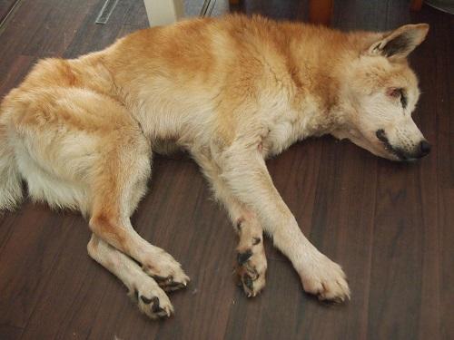 台所で倒れる老犬