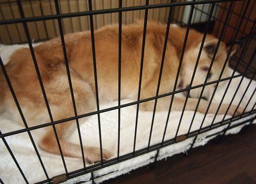 グッタリ眠る老犬