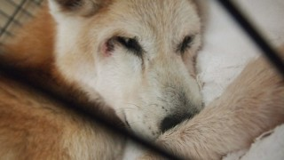 徘徊後に眠る老犬