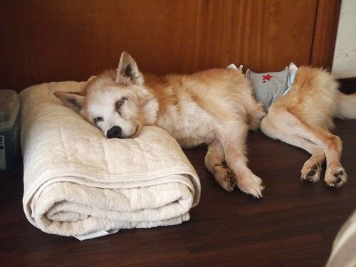 顎を上げて眠る老犬