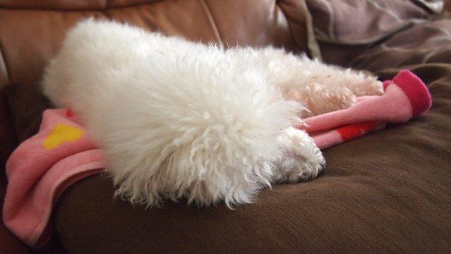 一日中眠る老犬
