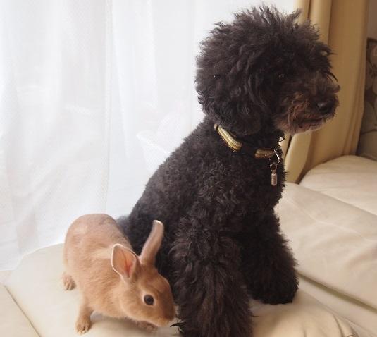ウサギと黒トイプードル