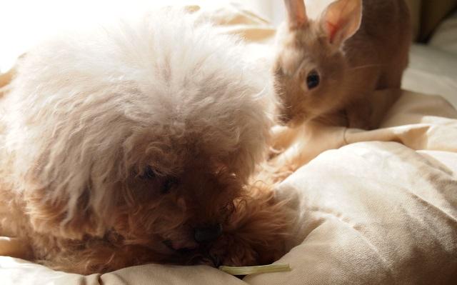 犬の匂いを嗅ぎに行くウサギ