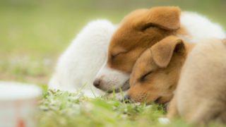 グッスリ眠る子犬たち